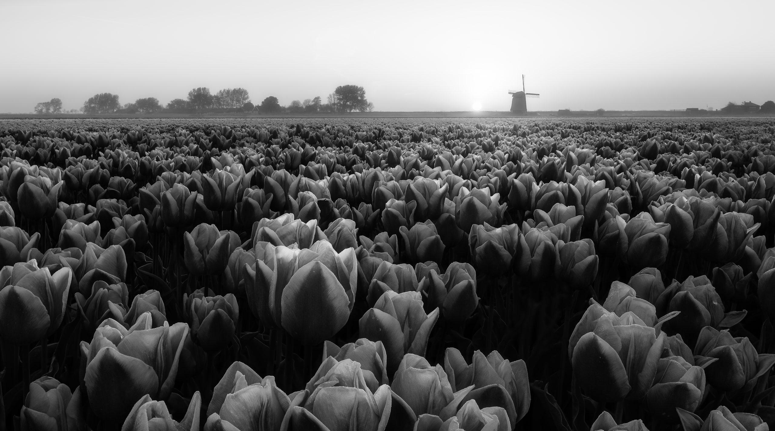 monochrome tulips
